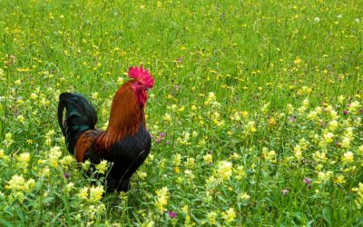 Auf der Wiese hebt der Hahn den Fuß